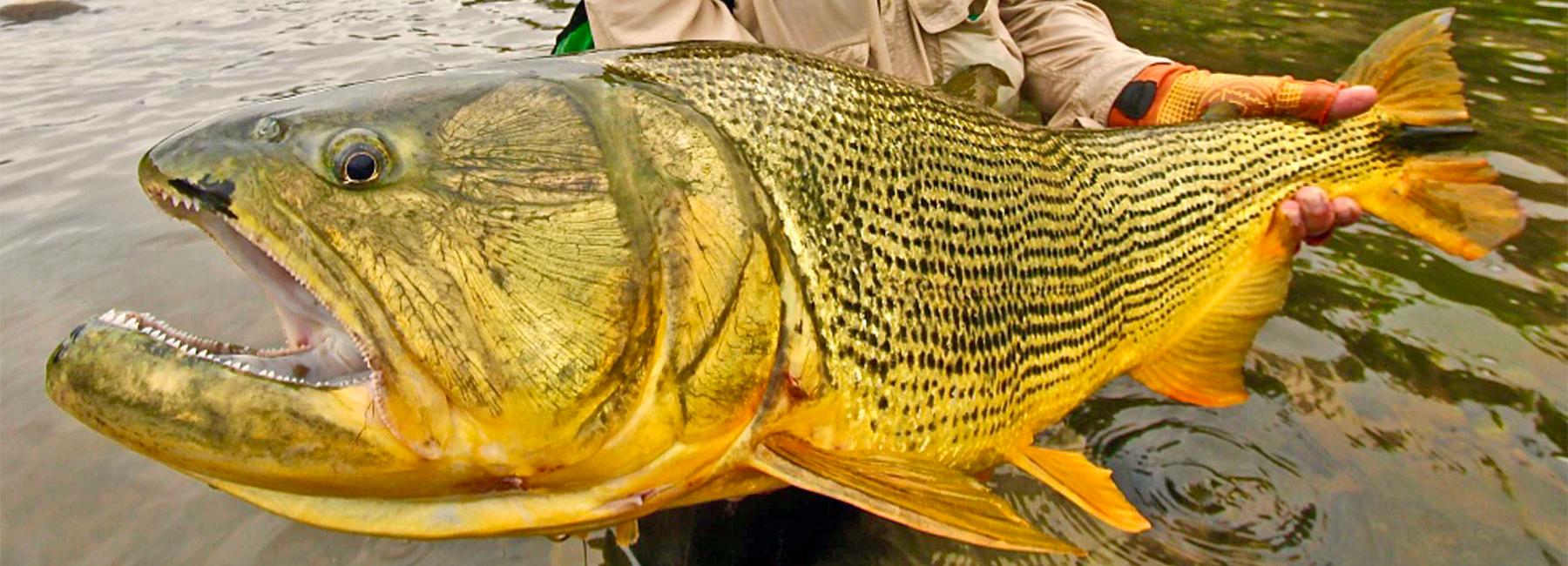 Golden dorado fly fishing dorado fly fishing lodges for Golden dorado fish