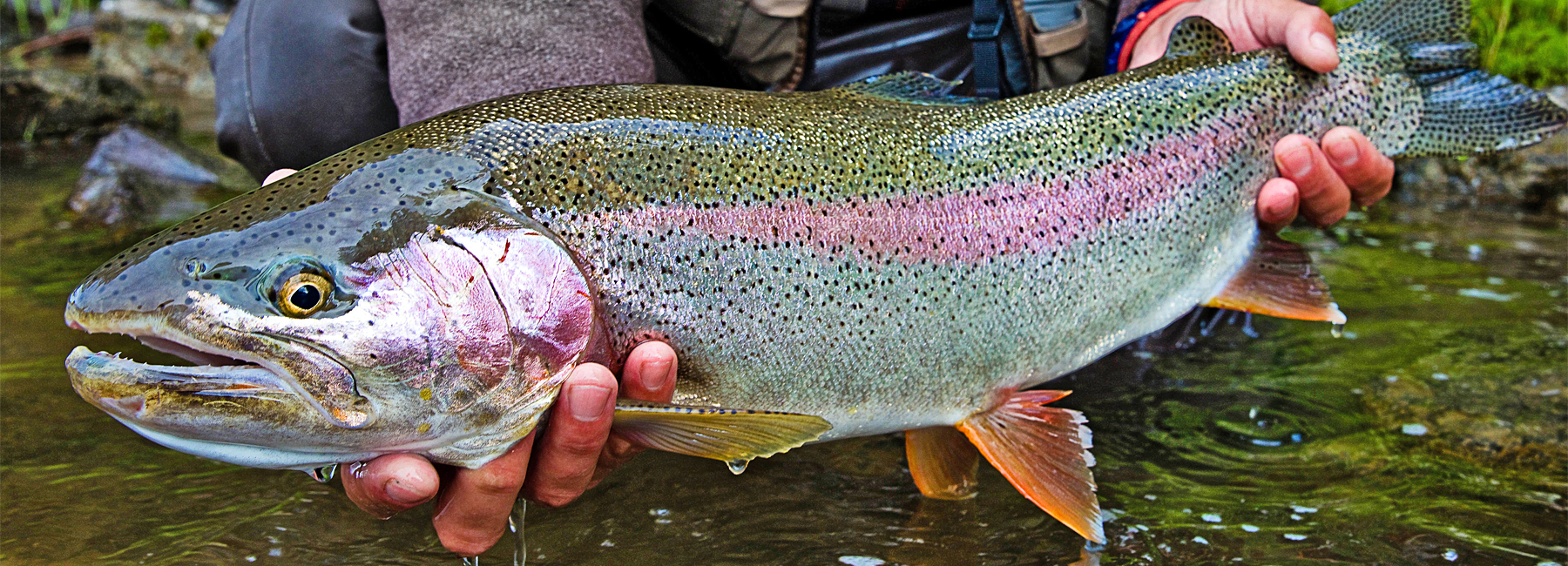 Rainbow trout fly fishing rainbow trout fishing lodges for Rainbow fish pictures